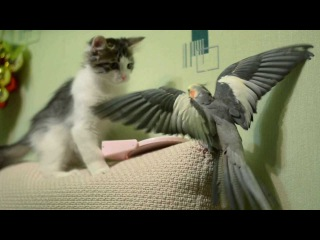 Борьба за зеркало! Кот против попугая! Корелла против кота!