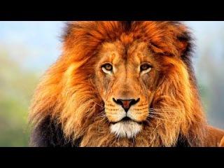 ДО СЛЕЗ. Последние львы. Лучший фильм про львов. | National Geographic HD