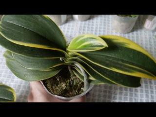 Орхидея: Dtps. Sogo Vivien размер 2,5 и 3,5