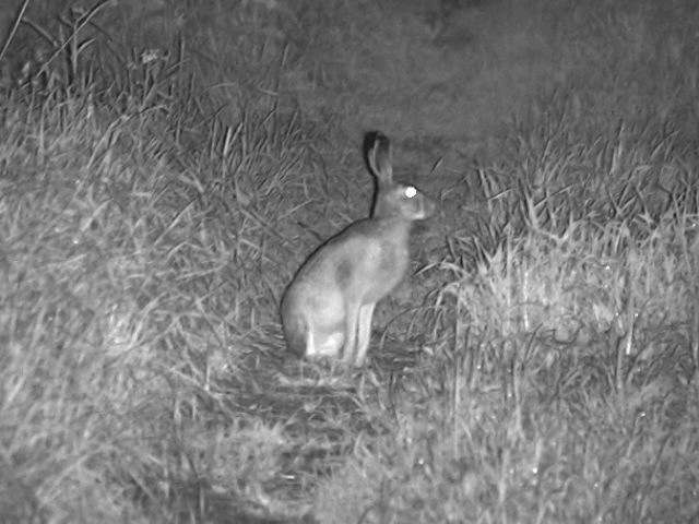 Заяц скачет у дома. Снято прибором ночного видения