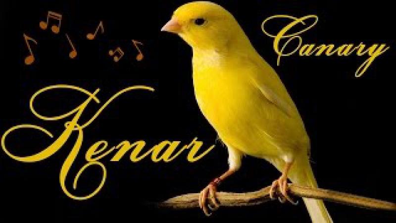 Кенар пение - Kenar singing - الكناري وهو يغرد