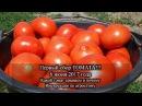 ПЕРВЫЙ сбор томата, без отпления!! 6 июня 2017.