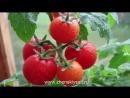 10 ошибок при выращивании помидоров!!