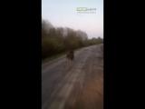 Лось бегун | ДТП авария