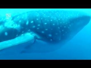 Китовая акула попросила дайвера о помощи.
