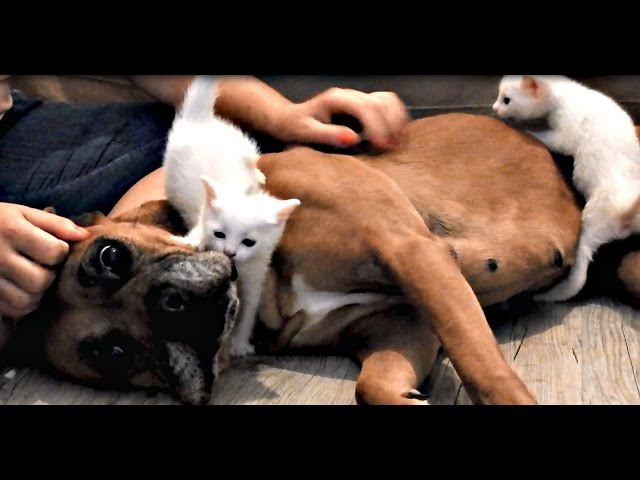 Rescue Boxer saves an abandoned mother cat and her kittens