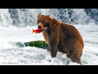 Животные и природа Аляски. Документальный фильм 30.11.2016