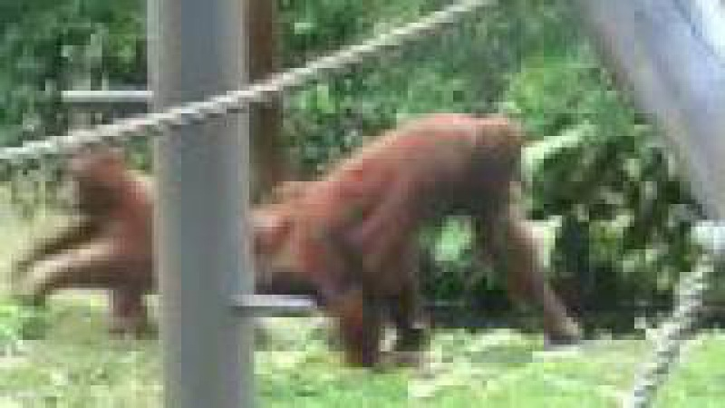 Hilarious Animal Video baby Orangutan tries to escape from its mother
