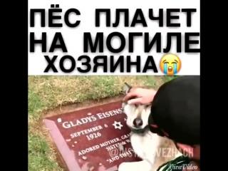 Собака плачет на могиле хозяина