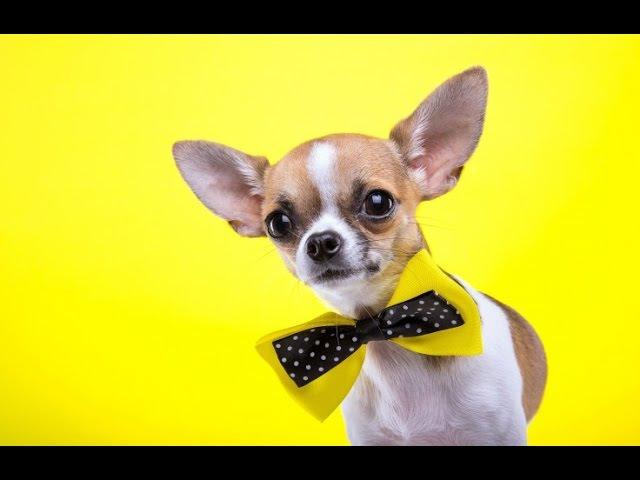 Чихуахуа Секреты содержания и воспитания собак