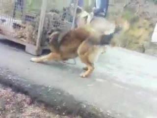 Qen sharri vs ujk