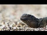 Игуана убегает от змей - (Planet Earth II׃ Islands BBC One).