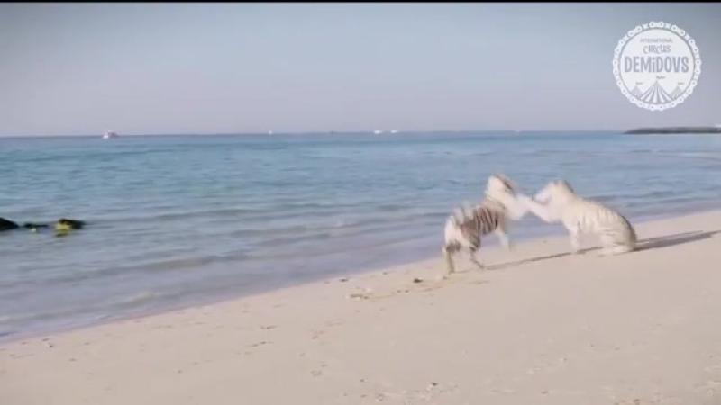 Тигры на пляже. Тихий океан. Цирк Демидовых