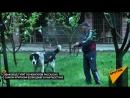 Самый большой волкодав в Кыргызстане — его щенков купил Миша Галустян.mp4