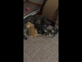Заботливая мама кошка