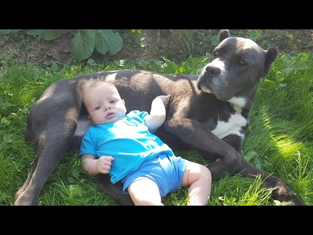 Baby can't hate Cane Corso dog too much | Dog and baby are obviously true friends