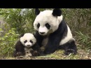 Sound panda, panda's voice, crying panda Звук панды, голос панды, крик панды