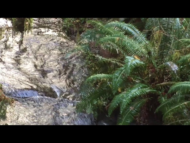 Bobcat catches salmon in rainforest