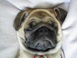 мопс спит