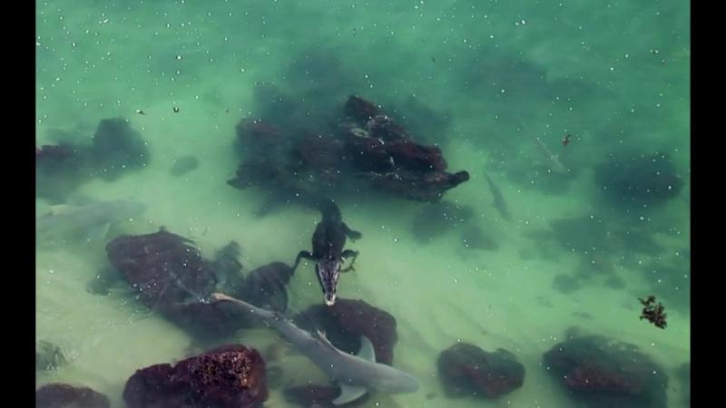Гребнистый крокодил территориально нападает на акулу