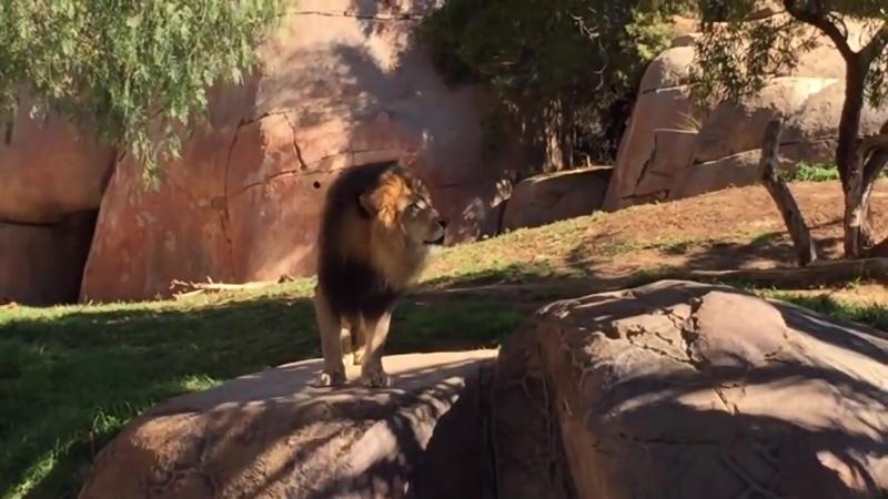 Львиный рёв. Зоопарк в Сан-Диего