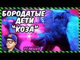 Бородатые Дети - Коза (Реакция)