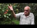 Что такое корневая шейка плодового дерева? Как найти корневую шейку?