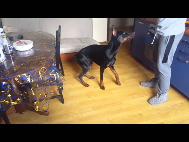 ДоберманDoberman Доби команды дрессировка собаки
