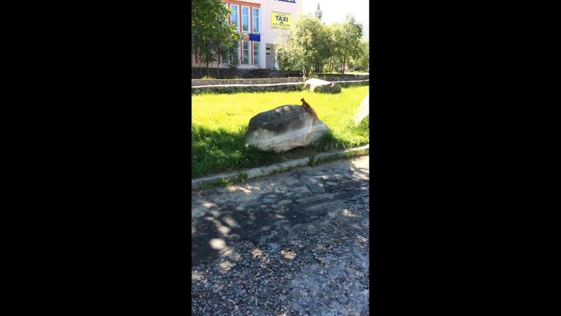 Белочка в Оленегорске