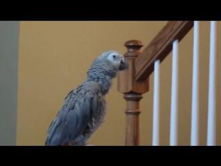 Попугай напевает заставку из