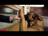 Вести Собачья работа. Специальный репортаж Ирины Куксенковой
