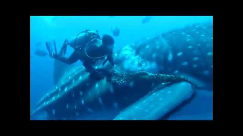 китовая акула попросила помощи у водолаза/невероятно