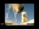 Polar Bear - POV Cams