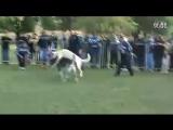 собачьи бои кангал vs алабай 360