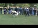 собачьи бои кангал vs алабай [360]