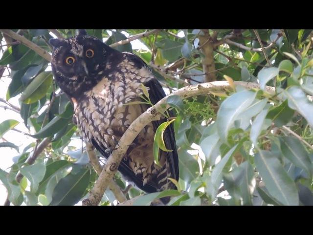 Центральноамериканская, или стигийская, ушастая сова / Stygian Owl / Asio stygius