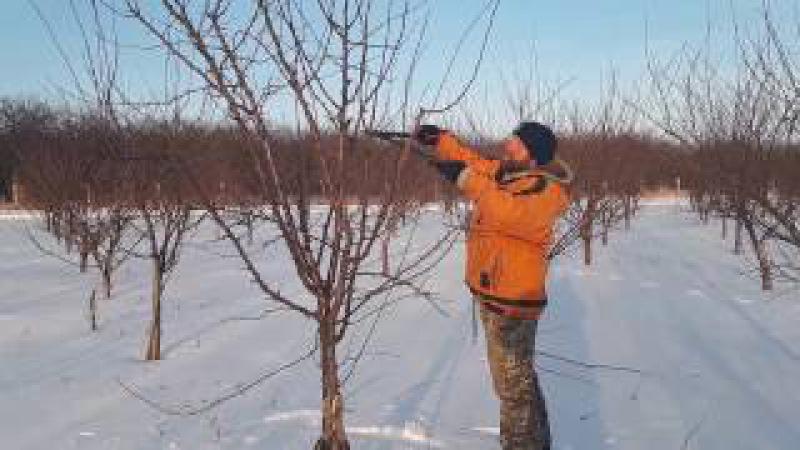 Обрезка молодого сливового сада (Winter pruning plums)