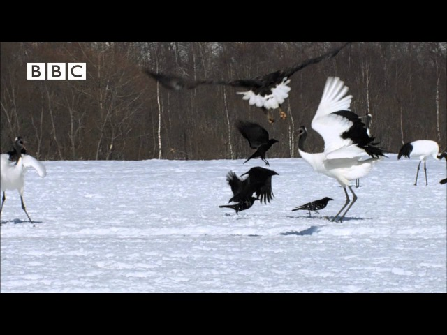 BEAUTIFUL JAPANESE CRANES in the snow - top sight In Nature (Earthflight - David Tennant)