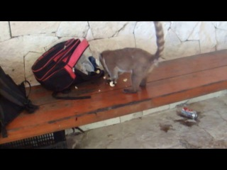 носуха-воровка :) (Mexico 2016) смешной зверек (ring-tailed coati)