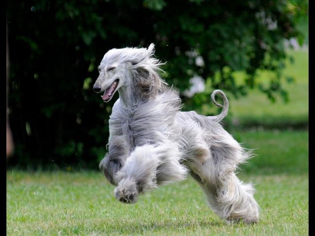 Афганская борзая(афган), все породы собак, 101 dogs. Введение в собаковедение.