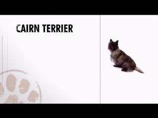 Керн терьер, все породы собак, 101 dogs. Введение в собаковедение