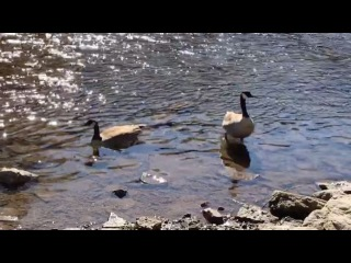 Geese rock and are also mean...kings of the paradox
