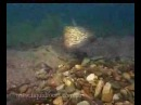 Freshwater fish of NSW Australia part 1