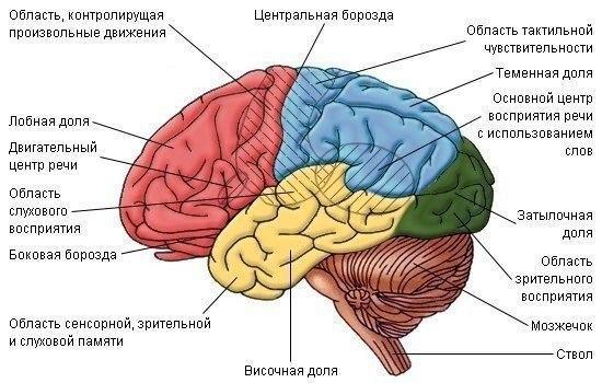 Человеческий мозг – самый сложный и малоизученный орган. Но несколько интересных фактов известны доподлинно.