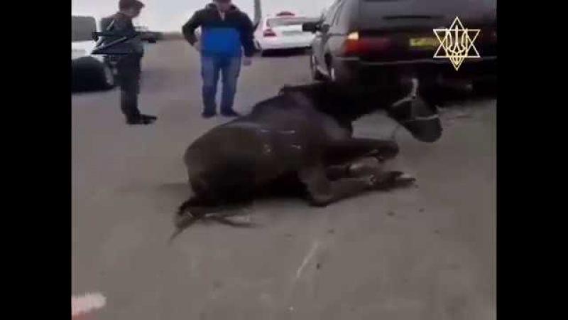 """Жертвоприношение коня на жидо сатанинско туалетный праздник """"песах"""" уманским ..."""