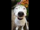 Счастливая Собака улыбка