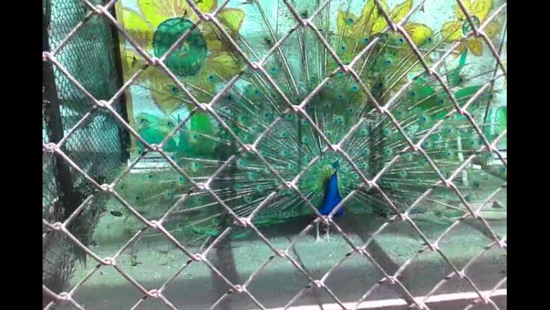 Павлины в зоопарке с нашим приходом распустили свои хвосты