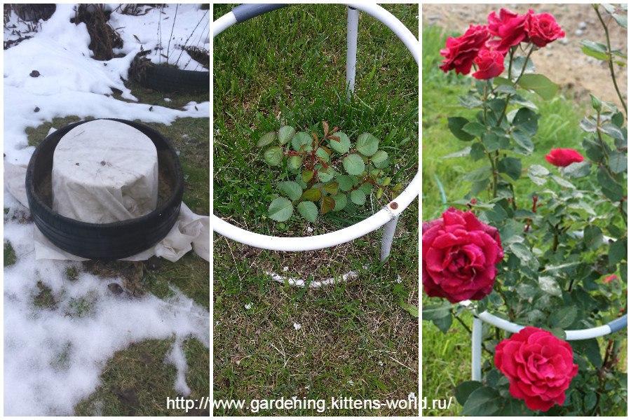 Почему замерзла роза и что делать