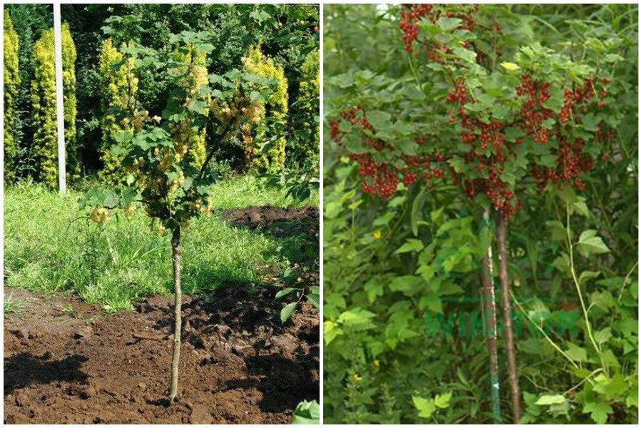 Как сделать из красной смородины деревце
