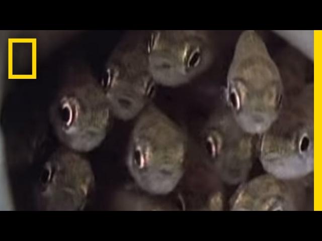 Killer Cuckoo Catfish National Geographic